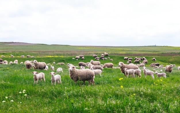 羊が牧草地で放牧