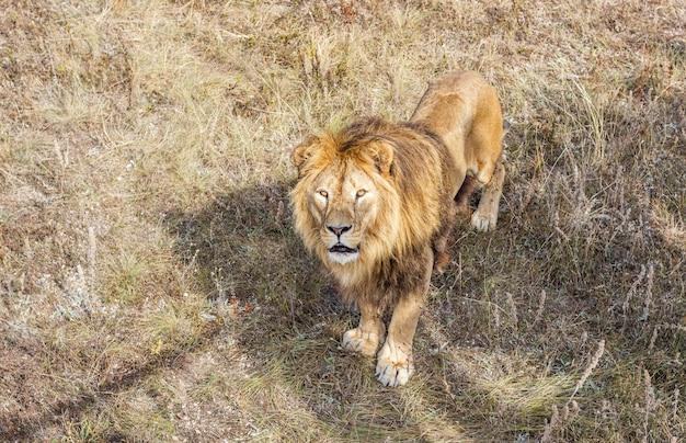 Взрослый лев в сафари-парке.