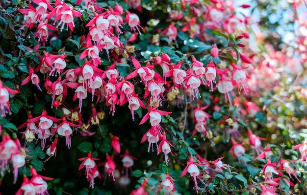 庭のフクシアの花