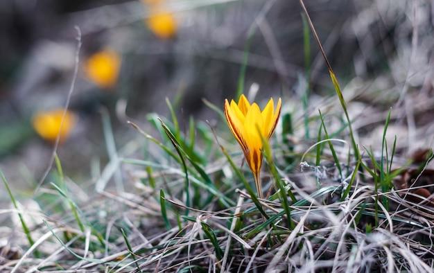Цветущие желтые крокусы в лесу