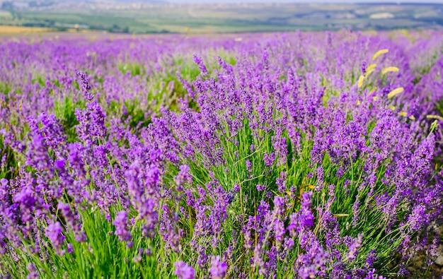 Цветущее поле лаванды в солнечную погоду летом