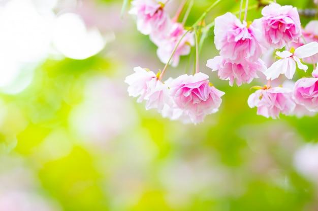 ピンクの桜(さくら)の花。ぼやけて背景にソフトフォーカスの桜や桜の花