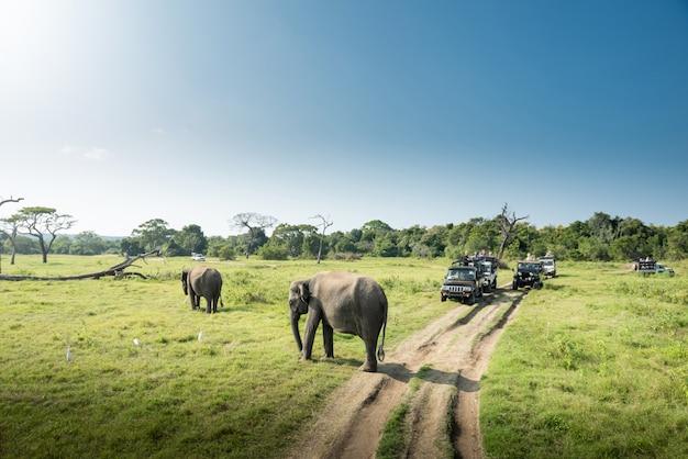 Дикие слоны в красивом ландшафте в шри-ланке