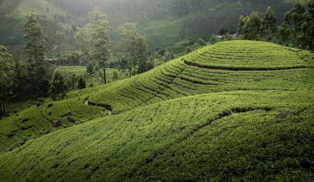 スリランカの茶畑
