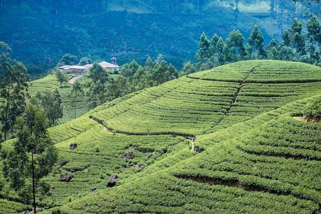 Чайная плантация в шри-ланке