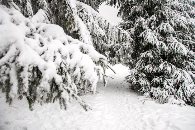 冬の山の風景。雪の山。山の最初の雪。カルパティア山脈の最初の霜。大雪の下で背の高いクリスマスツリー