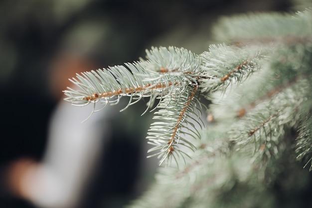クローズアップの針葉樹の木の枝。クリスマスツリーのクローズアップ。クリスマスのコンセプトです。