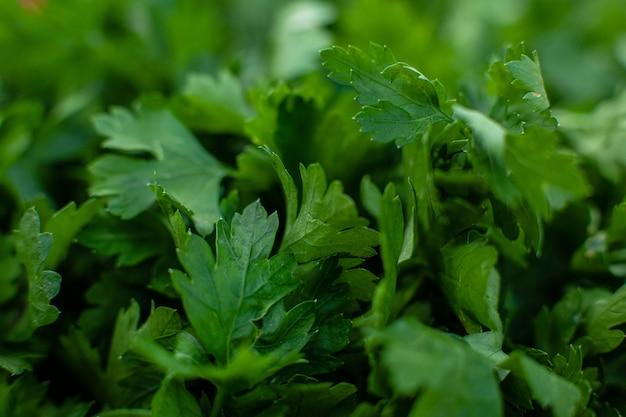 新鮮な緑のパセリの草