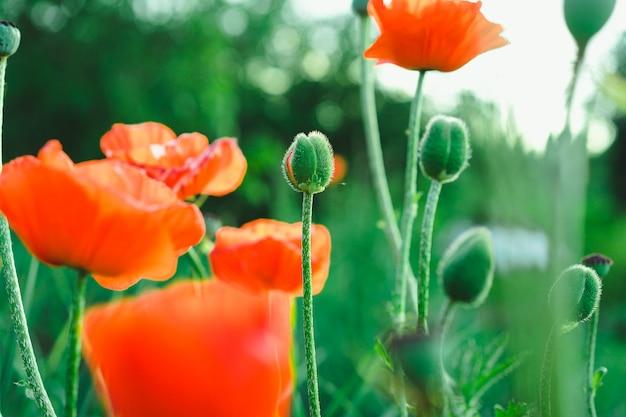 開花するケシ