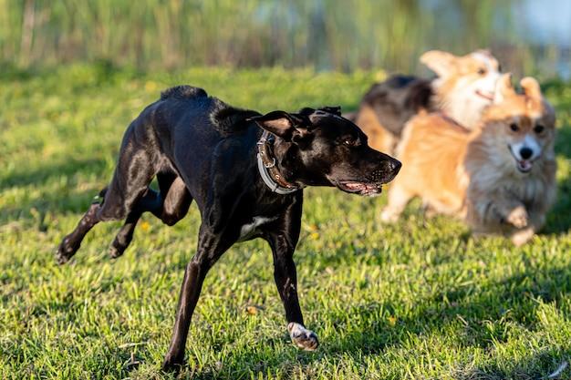 Собаки бегают и играют на зеленом лугу
