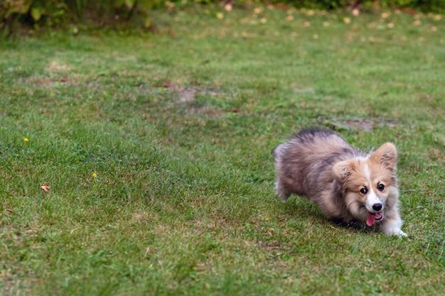 ウェルシュコーギーペンブロークのふわふわが緑の牧草地で草を横切って走る-画像