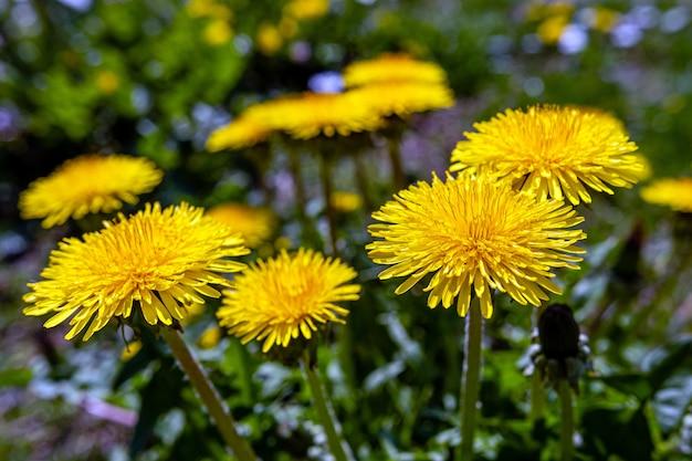 黄色のタンポポ。緑の春の牧草地に明るい花タンポポ