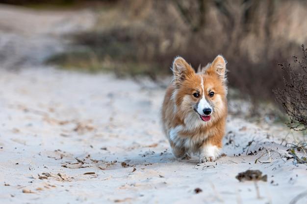 ウェルシュ・コーギーのふわふわがビーチを駆け回り、砂で遊ぶ