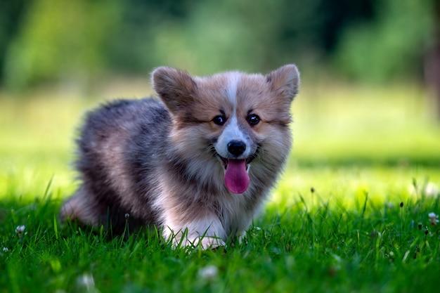 緑の草で走っている赤犬のウェルシュコーギーペンブローク子犬-画像