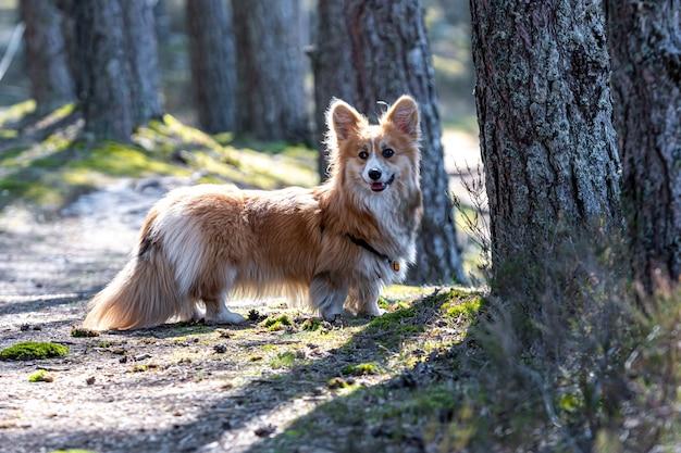 Красивый портрет красной собаки валлийский корги пемброк в лесу