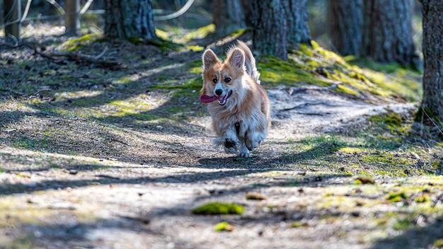 Вельш корги пемброк собака бежит по лесным песчаным тропам