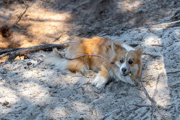 Вельш корги пемброк собака играет с корнями деревьев
