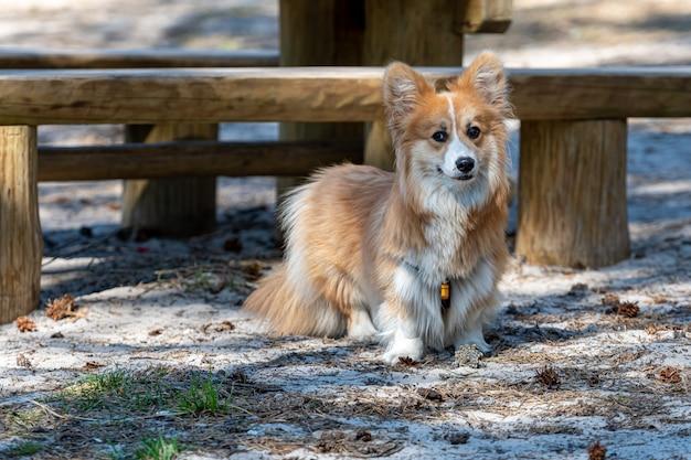 Красивый портрет красной собаки вельш корги пемброк в переднем плане
