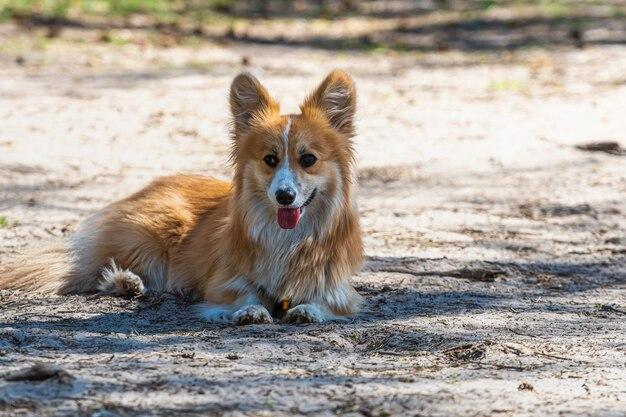 Красивый портрет красной собаки валлийский корги пемброк, лежа в лесу