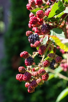 茂みには熟したブラックベリーと未熟なブラックベリーが生えています。