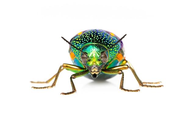 緑色の足の金属のカブトムシまたは宝石のカブトムシまたは白のメタリックな木ボーリングのカブトムシのイメージ