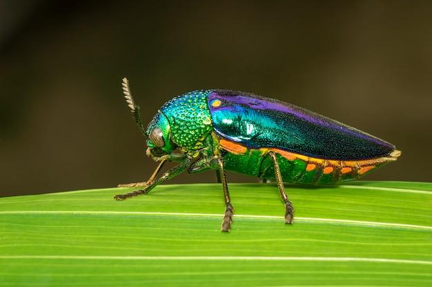 緑の葉の上の緑の足の金属カブトムシまたはジュエルカブトムシまたは金属の木材ボーリングのカブトムシのイメージ