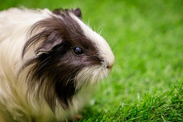 芝生の上のモルモットの画像。ペット。動物。