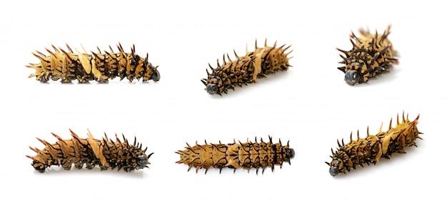 分離された黄金のトリバネアゲハ幼虫のグループ。ワーム。昆虫。動物。
