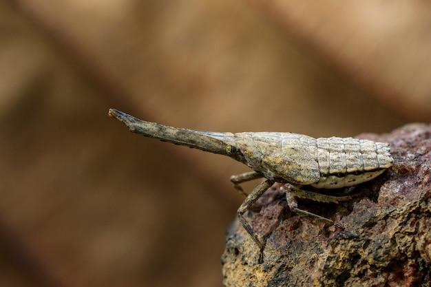 枝のランタンバグまたはザンナノビリスのニンフのイメージ。昆虫動物。