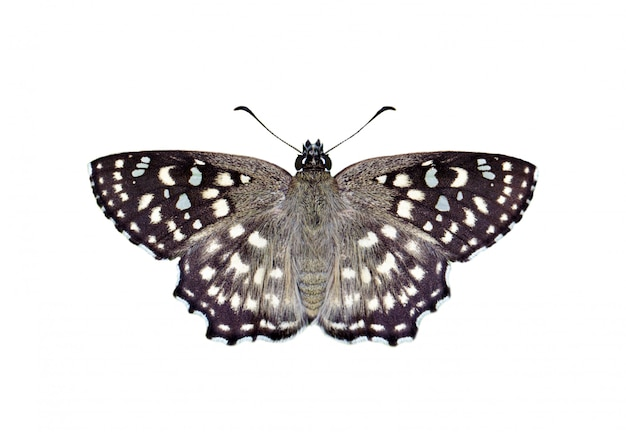 白い背景に分離された斑点を付けられた角度蝶(カプロナアガマトカゲ)の画像