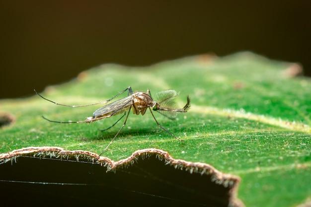 緑の葉に野生の蚊のイメージ。昆虫。動物