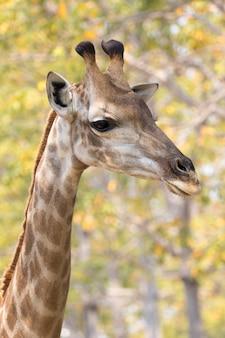 Изображение головы жирафа на природе. дикие животные.