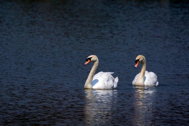 水の上の白鳥のイメージ。野生動物。