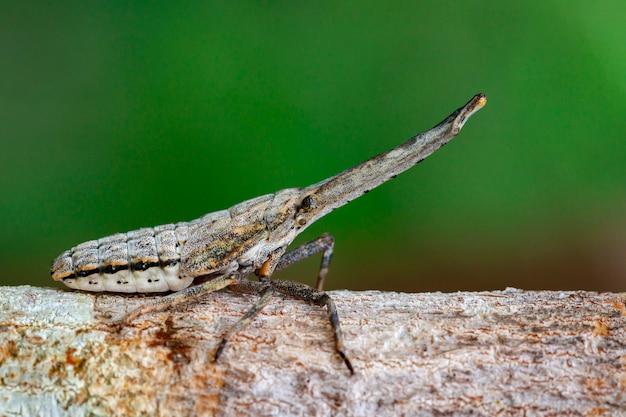 自然の枝にあるランタンバグまたはザンナノビリスニンフのイメージ。昆虫動物。