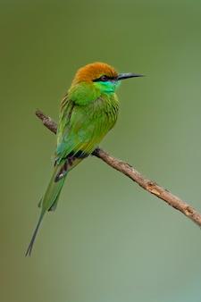 Зеленая птица щурка на ветке дерева