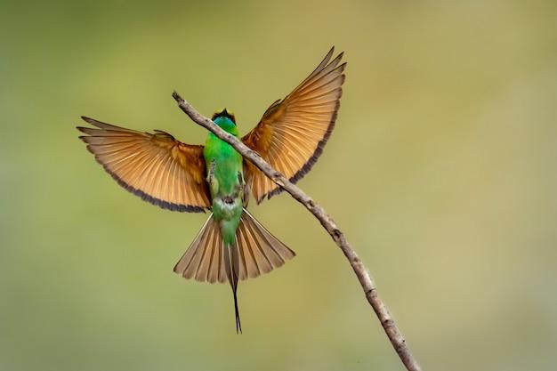Зеленая птица пчелоед