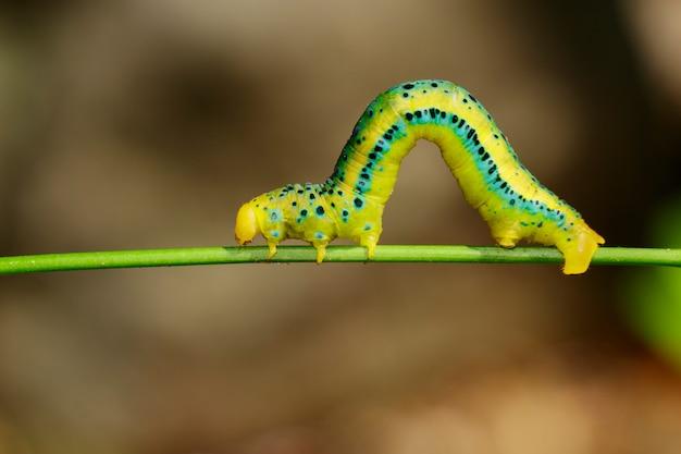 自然の背景にジスファニアミリタリスキャタピラー。昆虫動物。