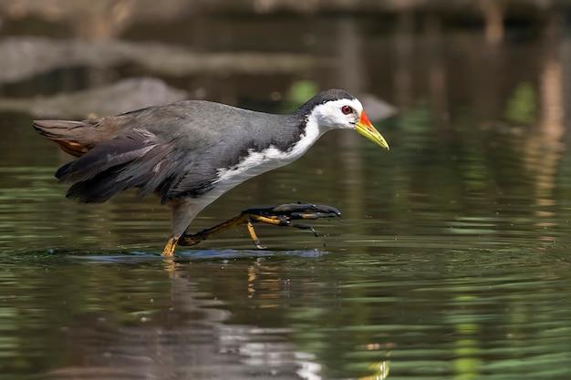 Белогрудая водяная птица ищет пищу в болоте