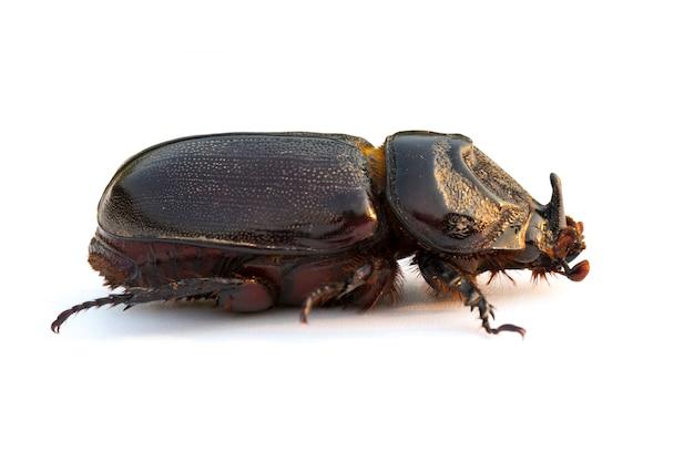Кокосовый жук-носорог