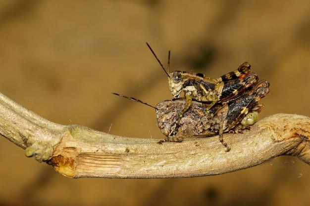 交尾するオスとメスの茶色のバッタは、枝に愛を作ります。イナゴ、昆虫、動物。