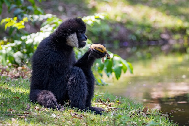 Черный гиббон ест еду на природе