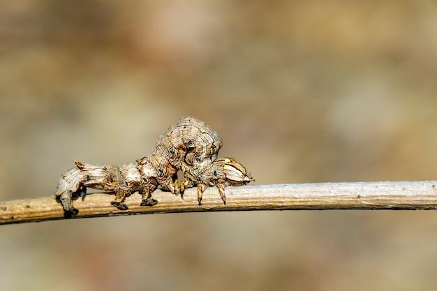 Коричневая гусеница на ветке