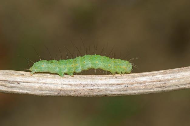 Зеленая гусеница на ветке
