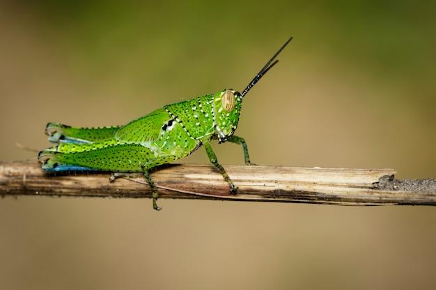 Зеленый кузнечик на сухих ветвях