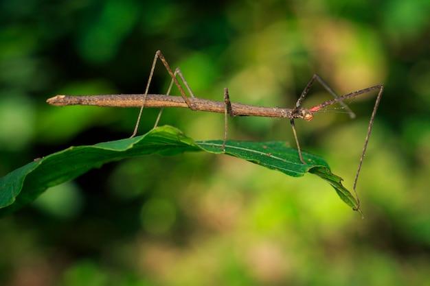 Изображение сиамского гигантского насекомого на листьях на фоне природы