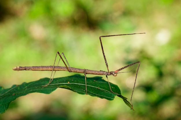 Сиамские гигантские палочки на листьях на фоне природы