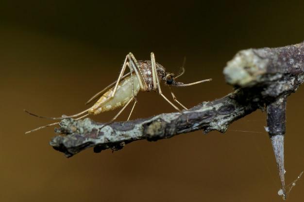 Изображение дикого комара на ветке