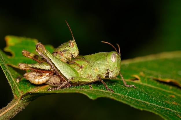 Мужские и женские зеленые спаривания кузнечиков занимаются любовью на зеленом листе