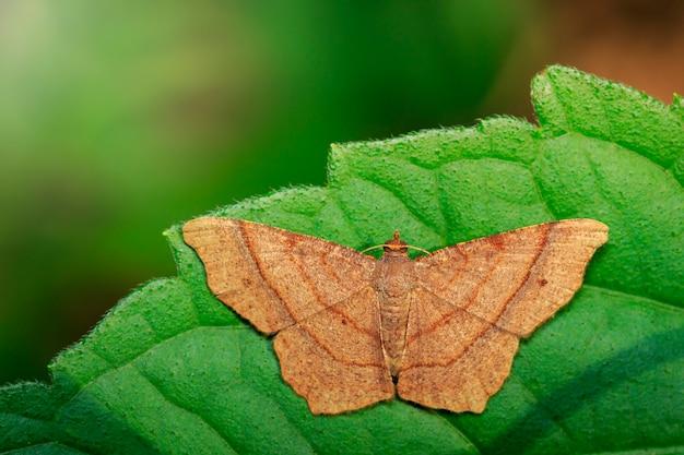 Изображение коричневой бабочки на зеленых листьях