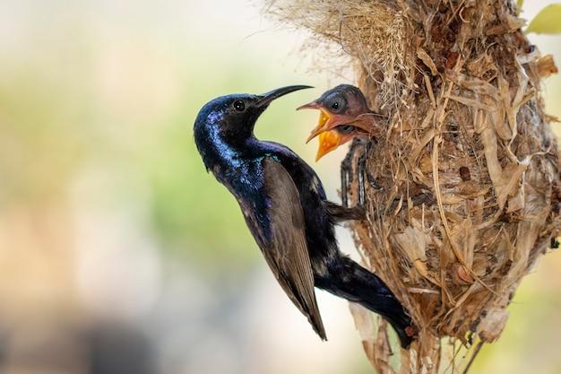 紫のサンバードが鳥の巣で赤ちゃんの鳥に餌をやる画像。鳥。